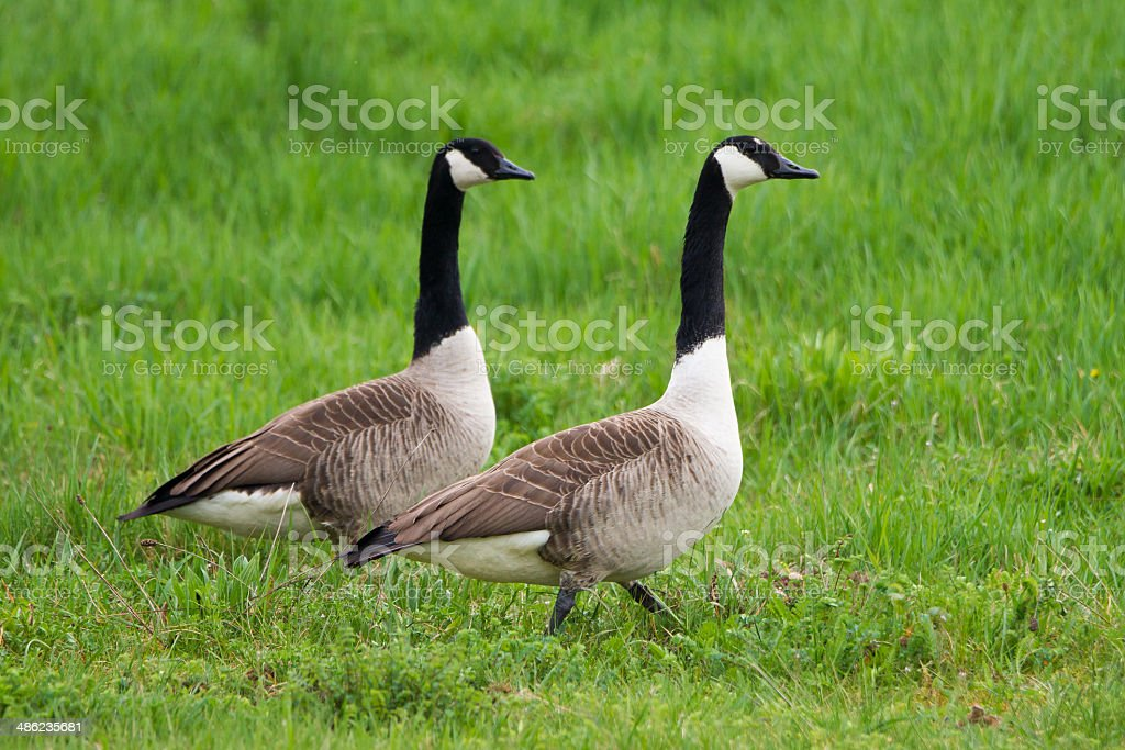 Canada goose couple on green meadow royalty-free stock photo