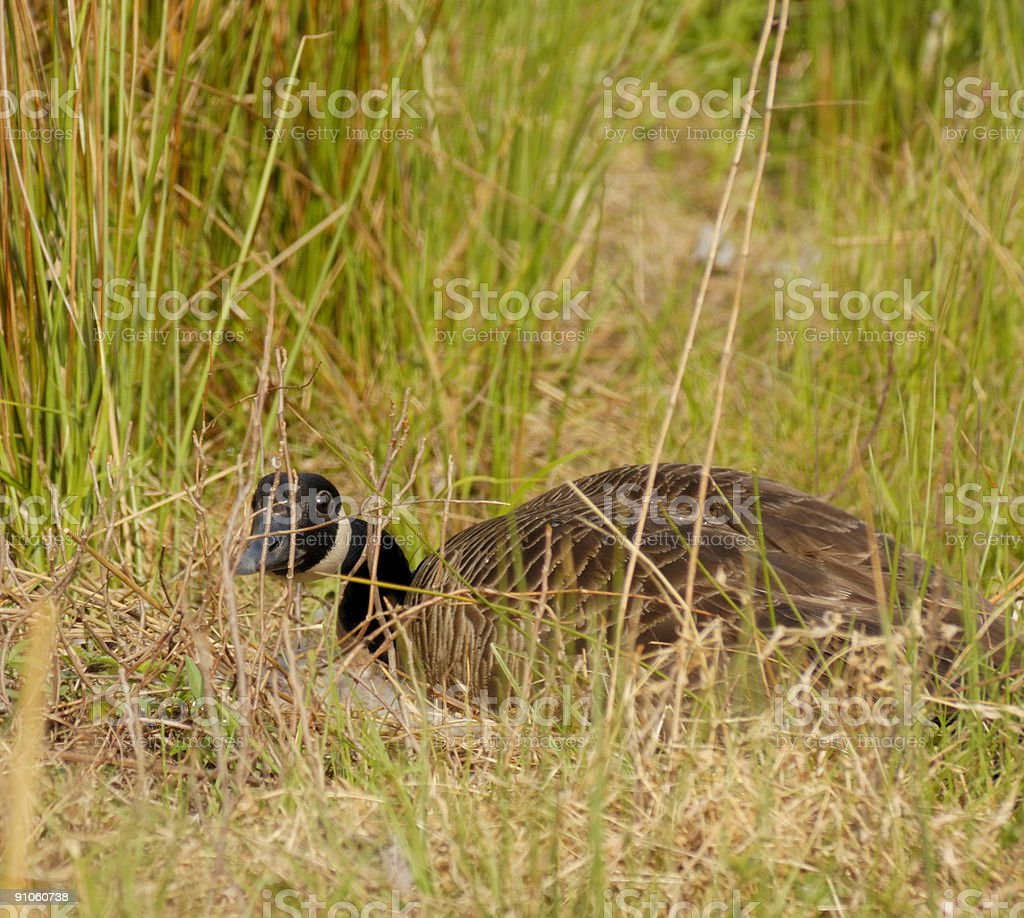 Canada Goose Defending Nest stock photo