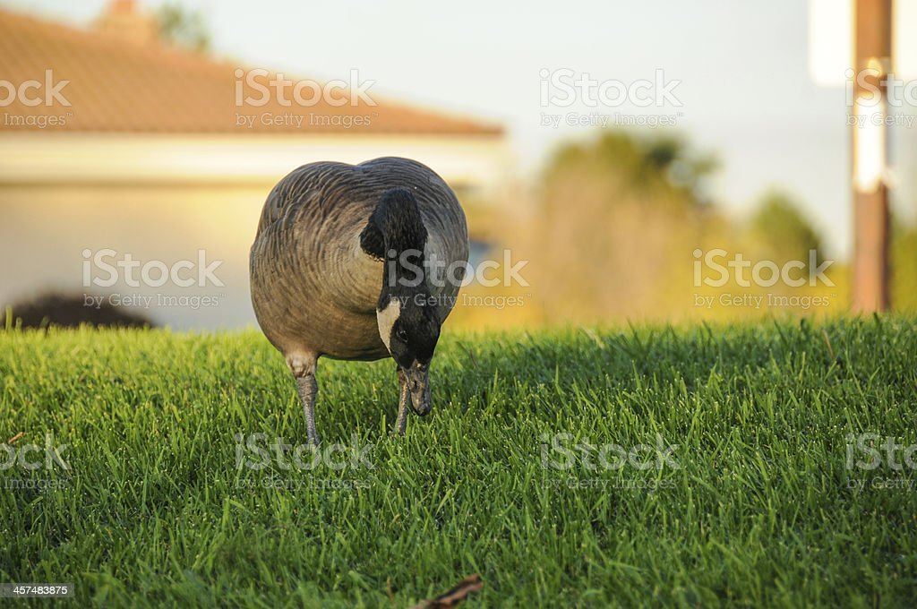 canada goose eating royalty-free stock photo
