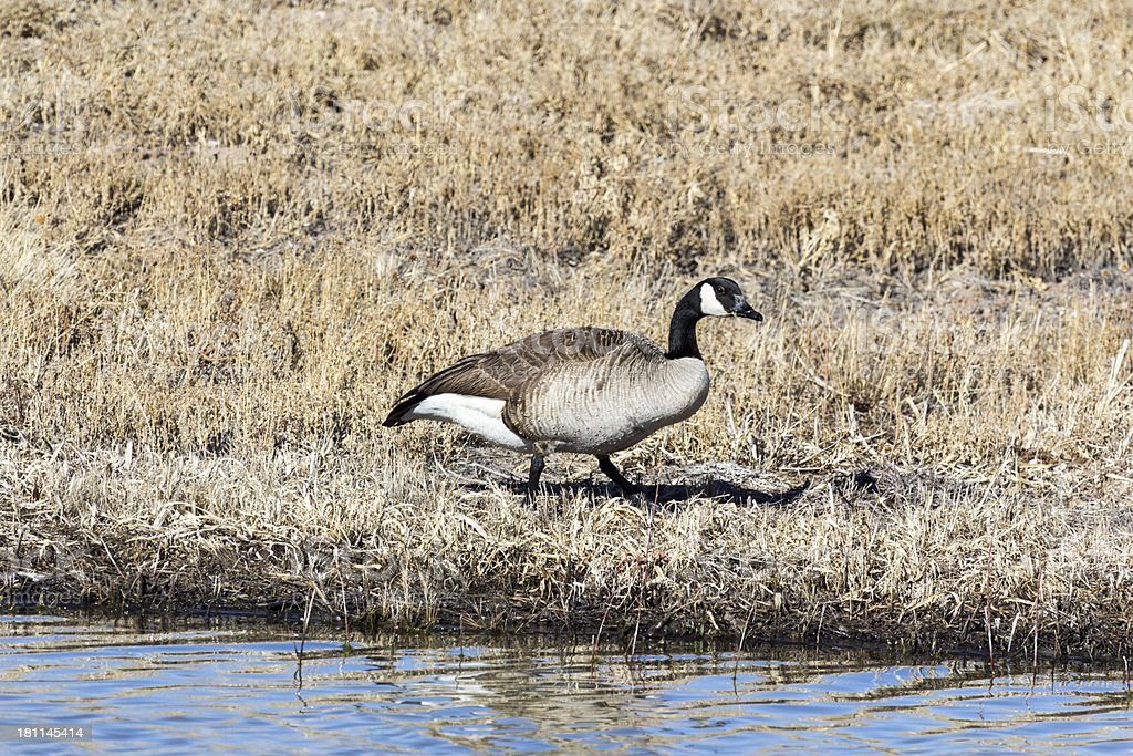 Canada Goose feeding royalty-free stock photo