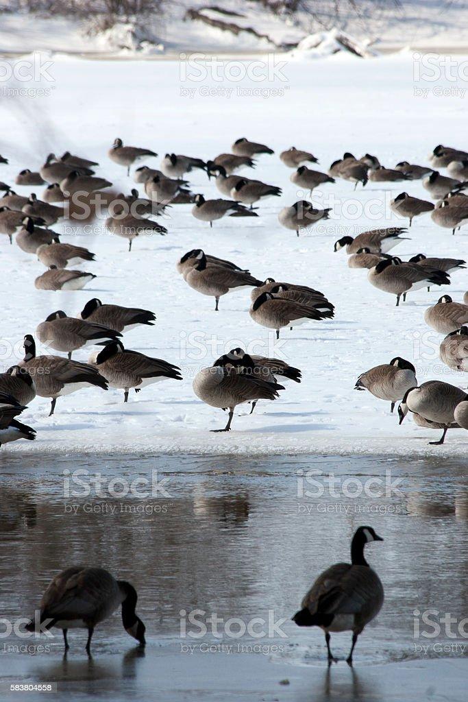 Canada goose flock in spring stock photo