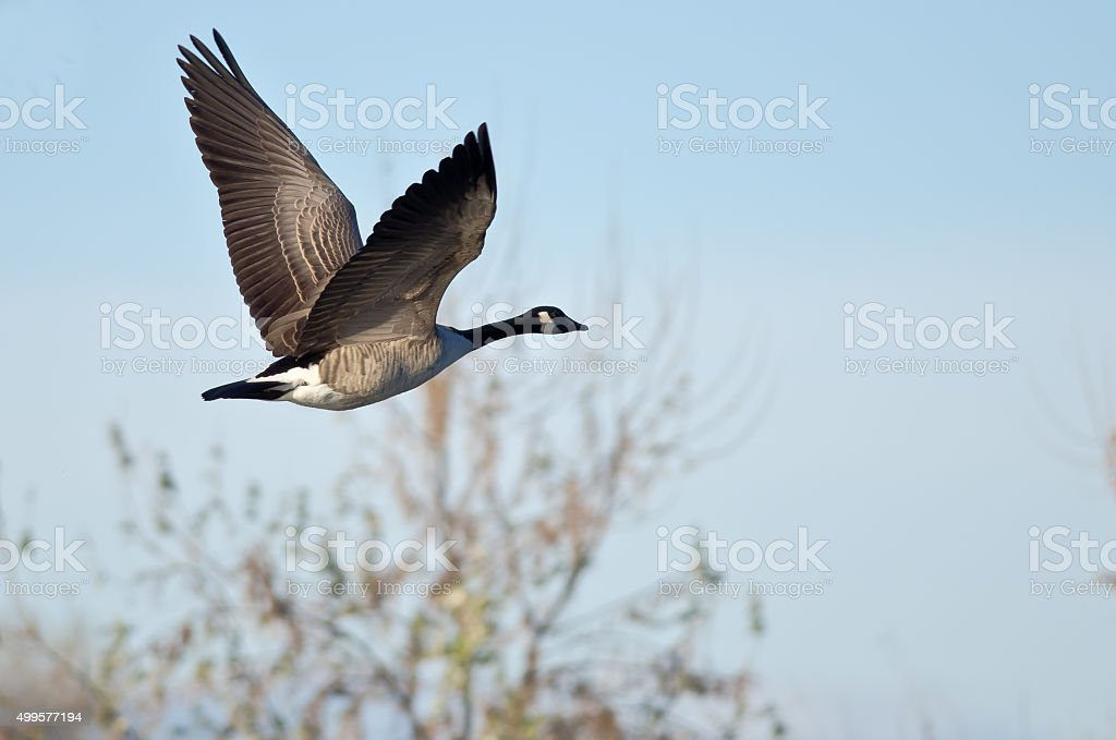 Canada Goose Flying Low Over the Autumn Pond stock photo