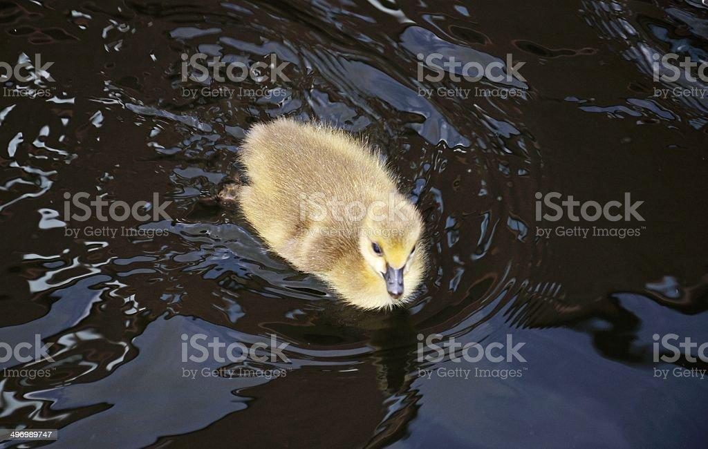 Canada goose gosling. stock photo