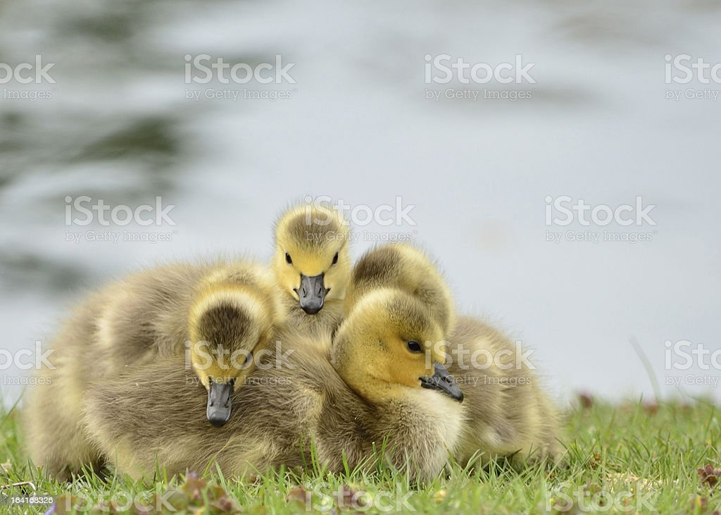 Canada Goose Goslings royalty-free stock photo