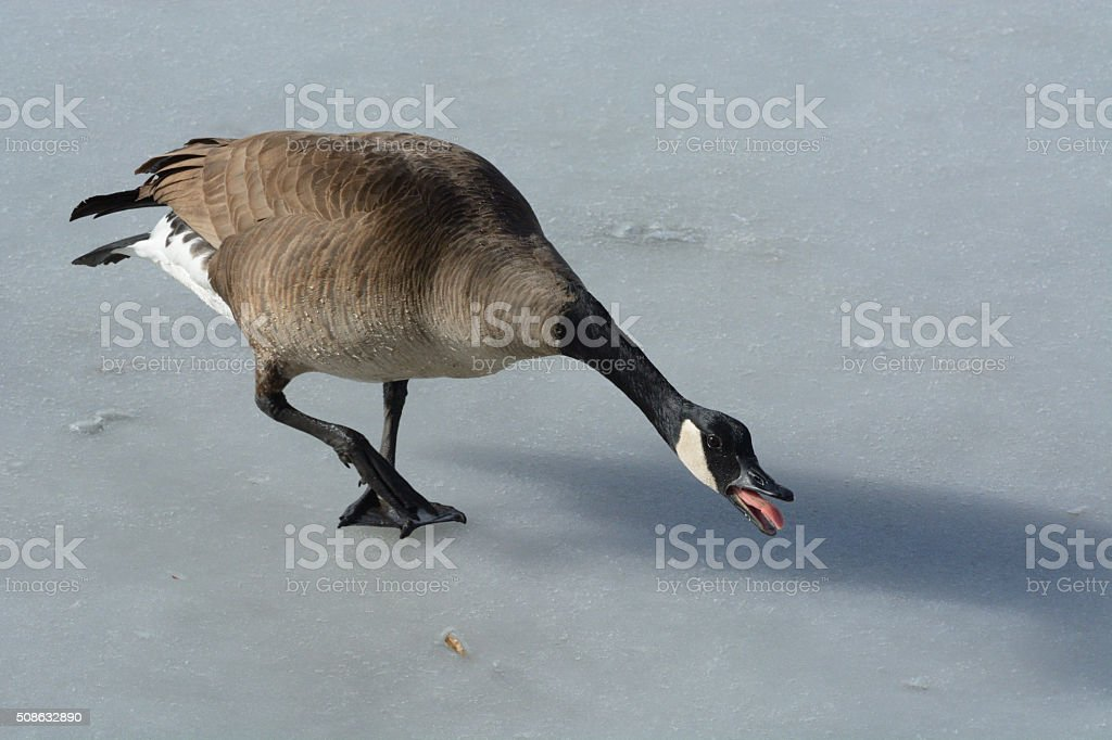 Canada Goose hissing stock photo
