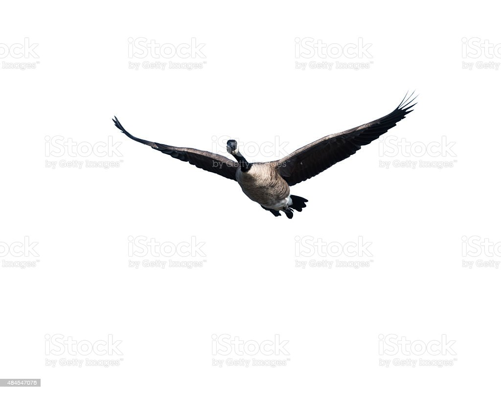 Canada Goose in Flight on White Background stock photo