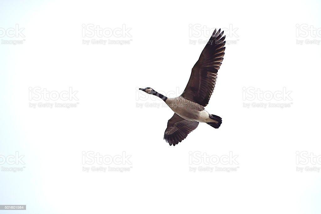 Canada Goose in Flight stock photo