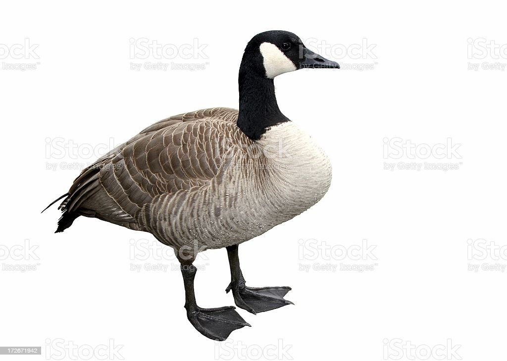 Canada Goose Isolated royalty-free stock photo