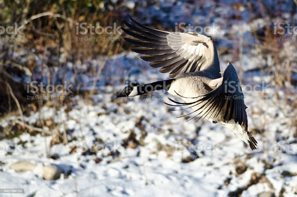 Canada Goose Landing on the Snowy Winter River stock photo