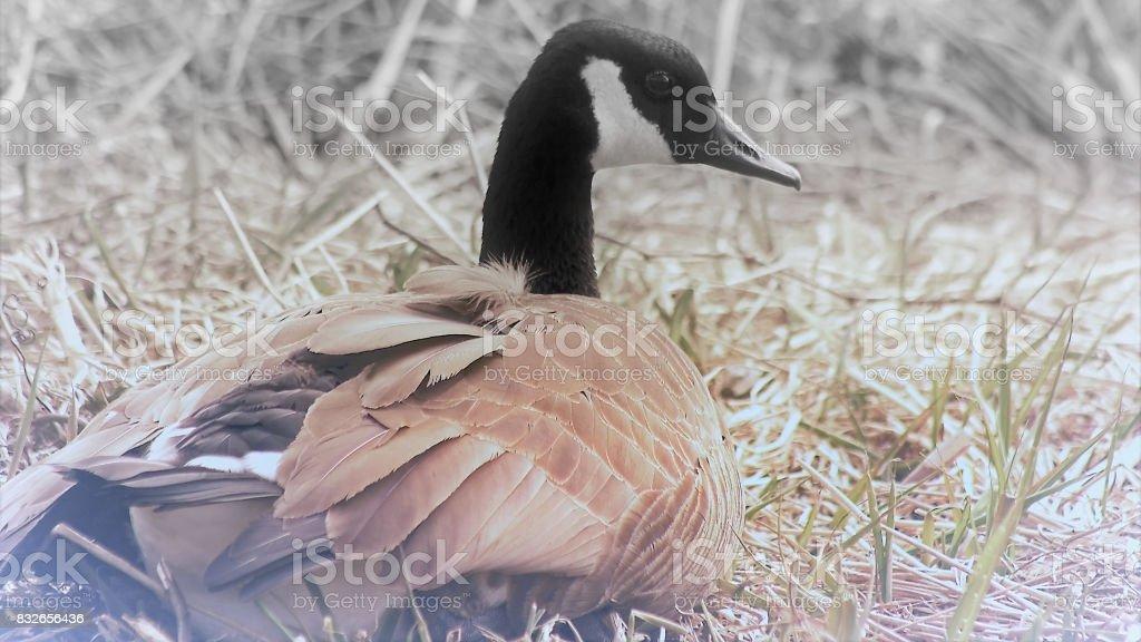 Canada Goose nesting - soft focus stock photo