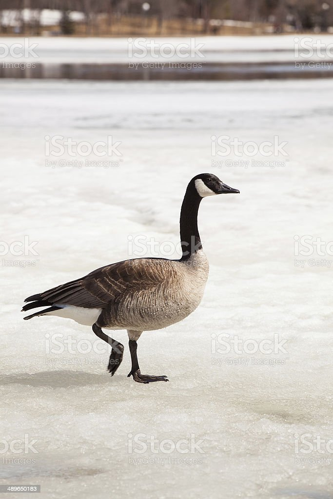 Canada Goose on Ice royalty-free stock photo