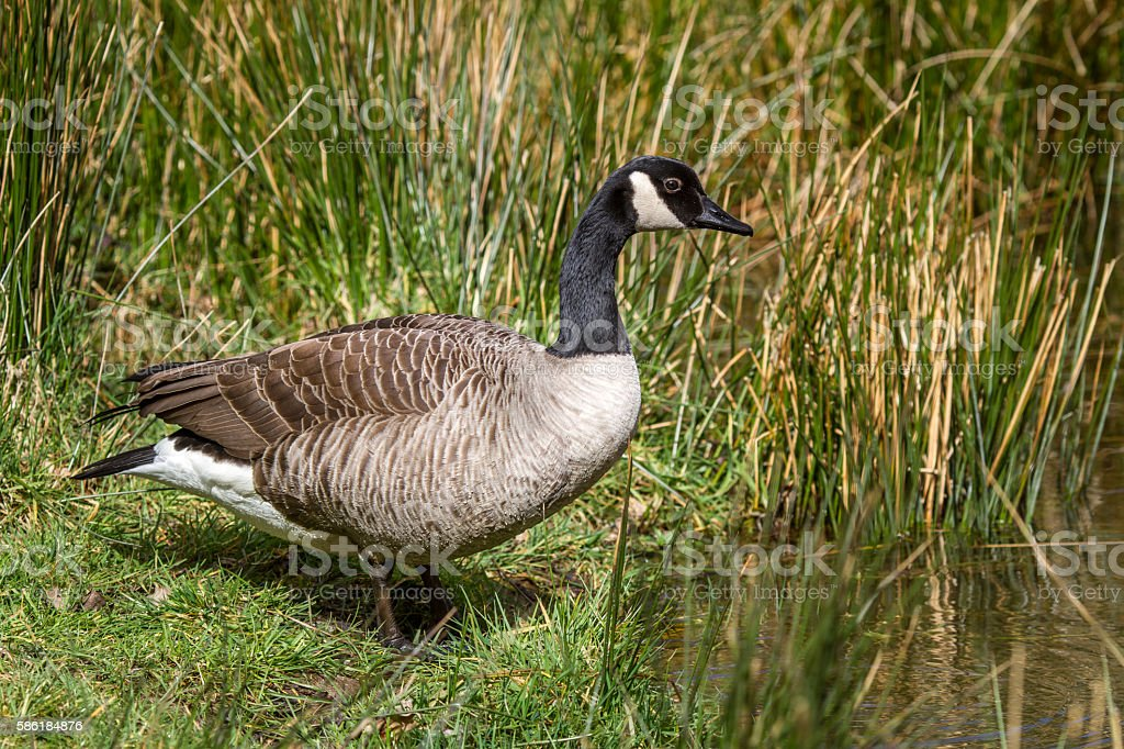 Canada Goose on riverbank next to water stock photo