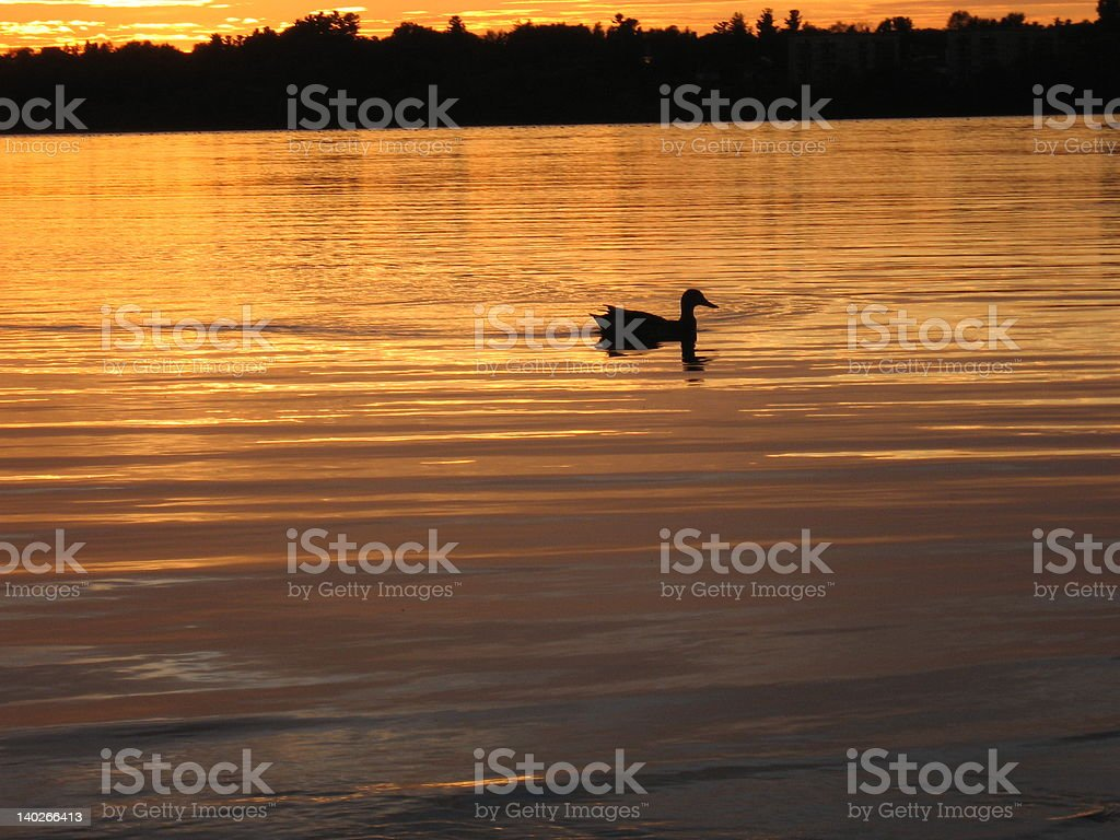 Canada Goose on the Ottawa River at Sunset stock photo