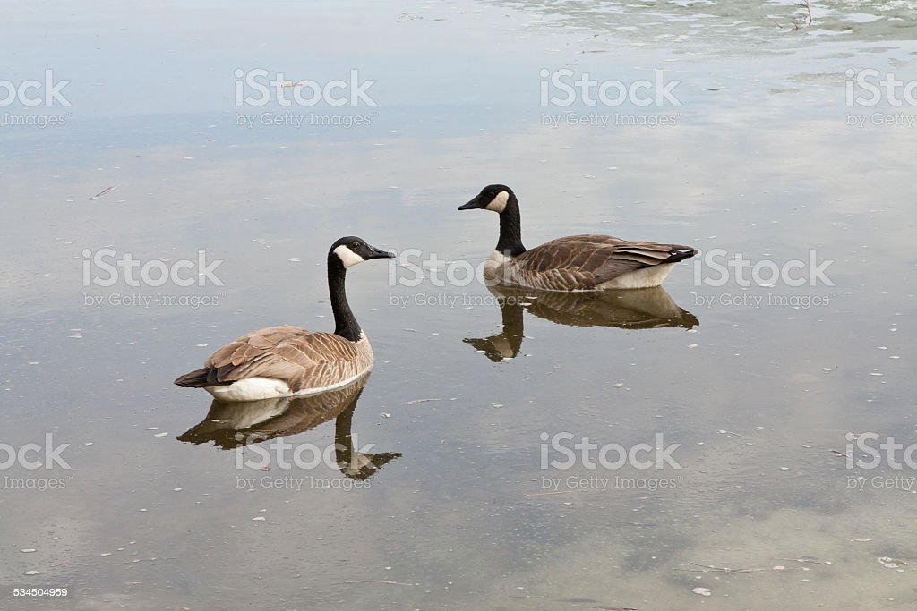 Canada Goose pair swims on lake with melting ice stock photo