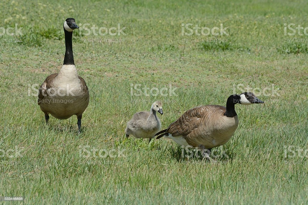 Canada goose parents and gosling stock photo
