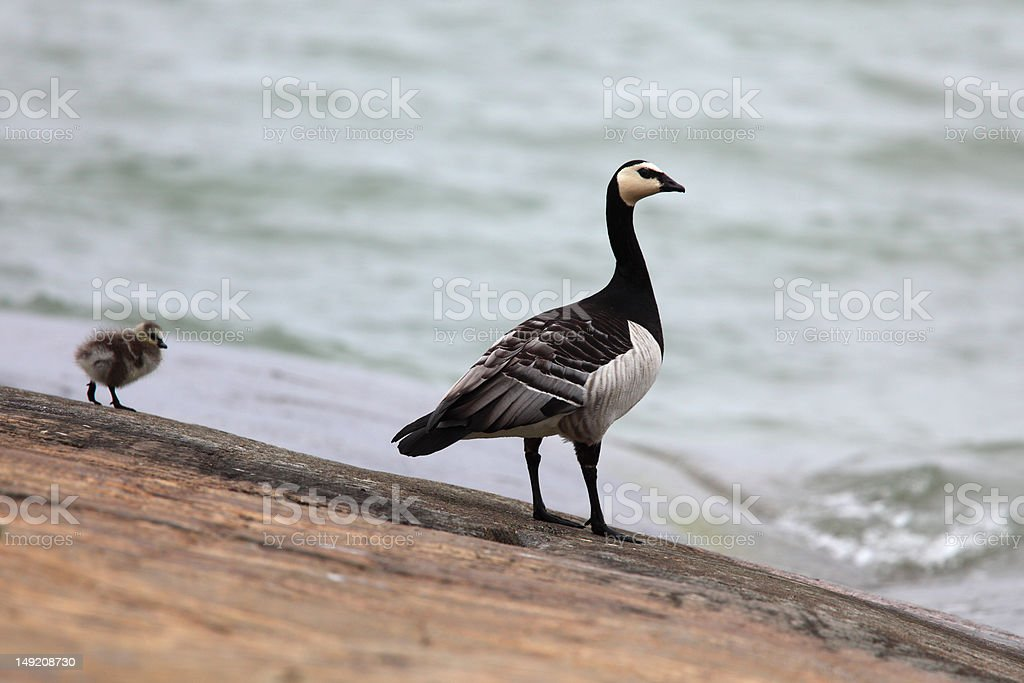 Canada goose royalty-free stock photo