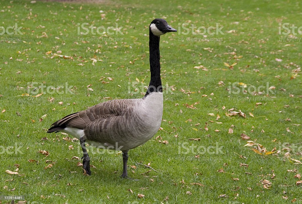 Canada Goose royalty-free stock photo