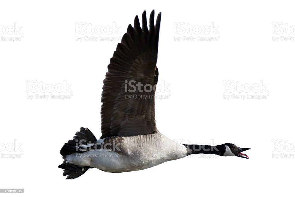 Canada Goose (Branta canadensis) royalty-free stock photo