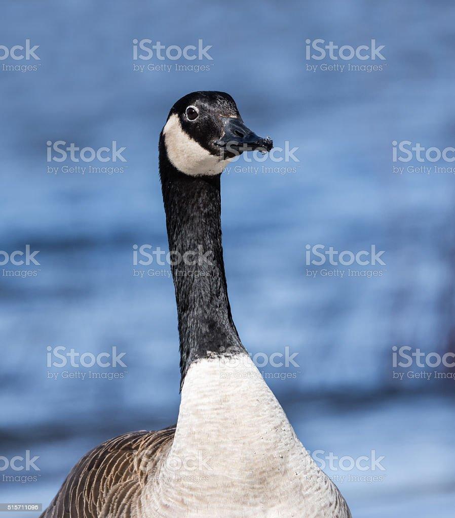 Canada Goose Portrait stock photo