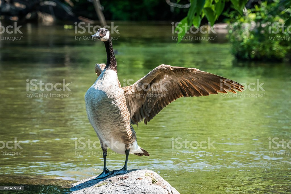 Canada Goose stands in Ottawa River rock, flaps his wings. stock photo