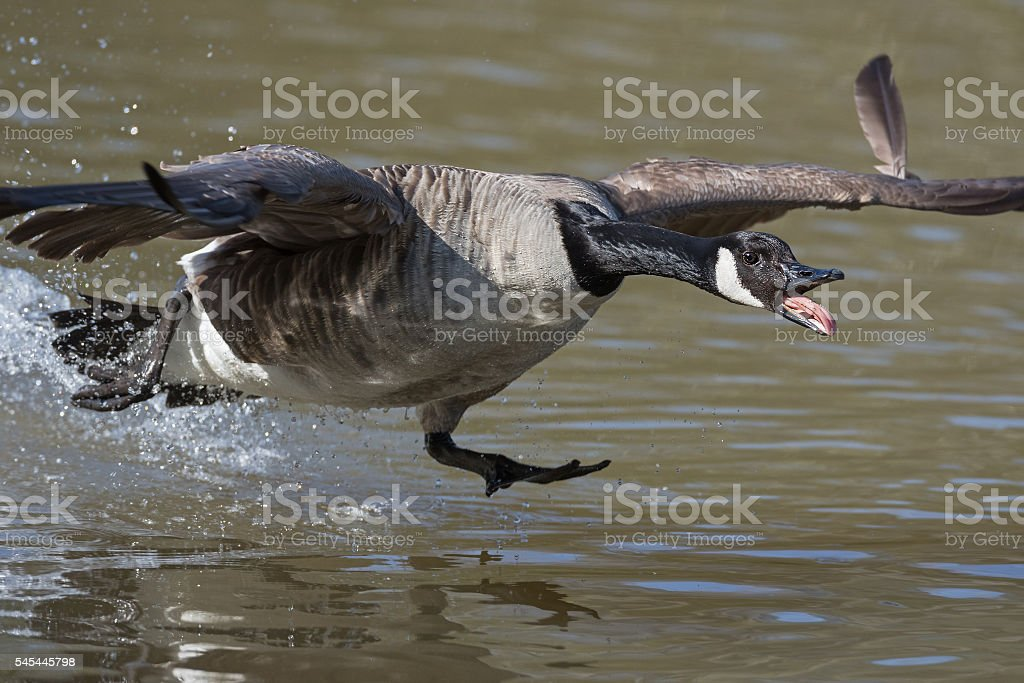 Canada goose (Branta canadensis) starts to fly stock photo