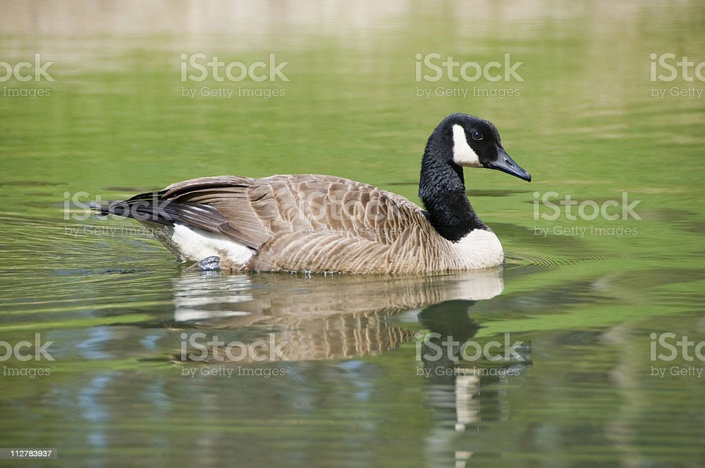 Canada Goose (Branta canadensis) swimming in a pond royalty-free stock photo
