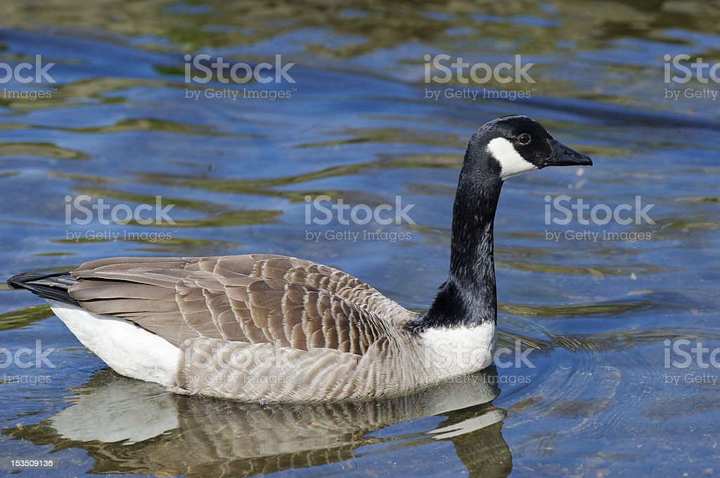 Canada Goose swimming peacefully in a lake in spring royalty-free stock photo