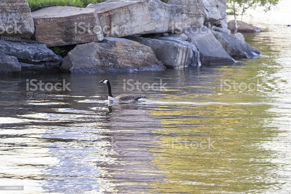 Canada Goose swimming stock photo