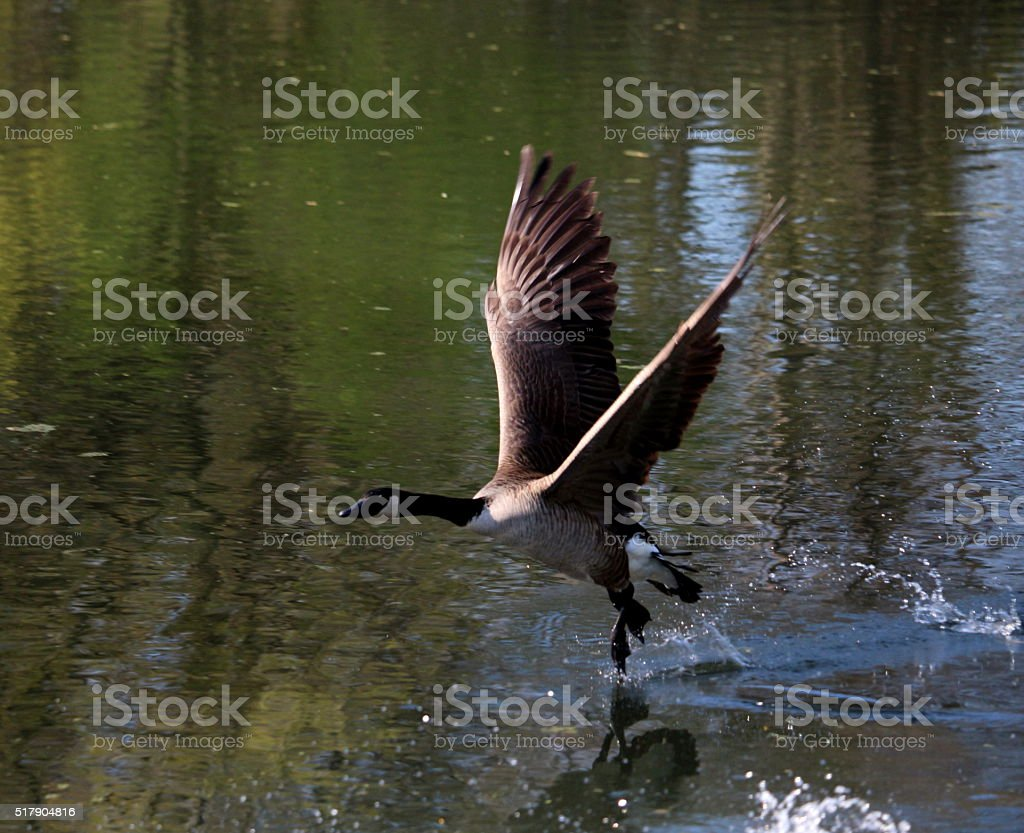 Canada Goose Take Off stock photo