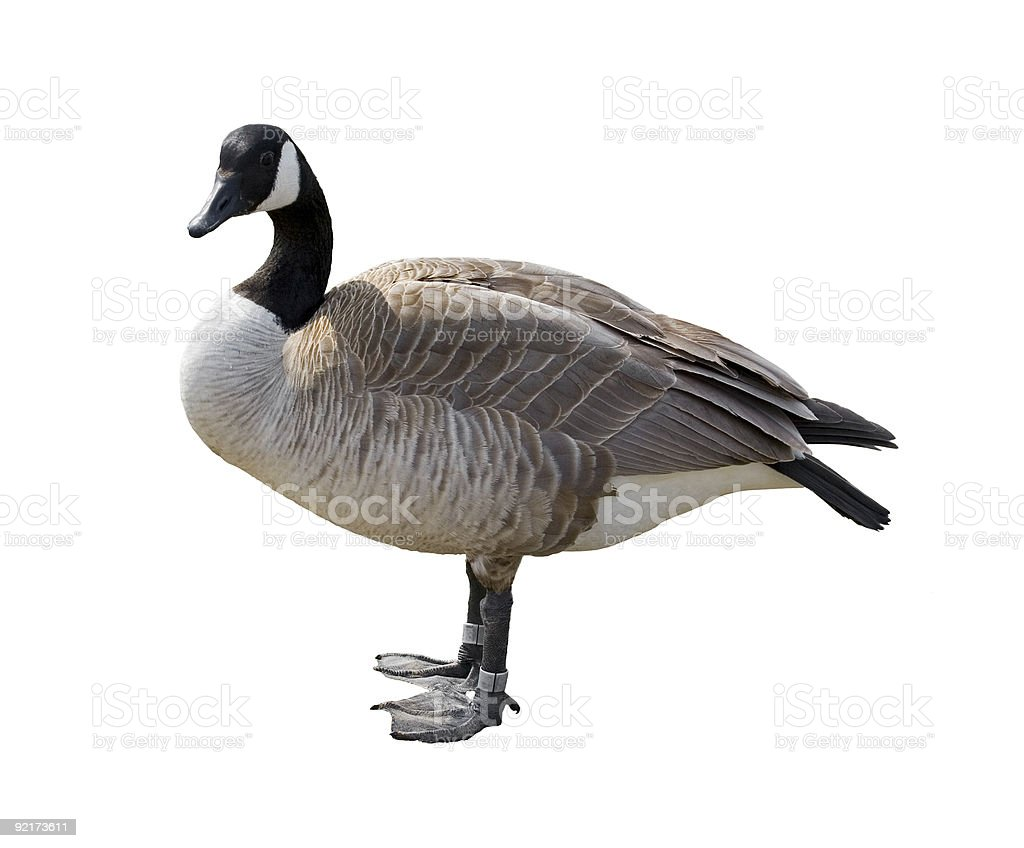 A Canada goose up close on a white backdrop stock photo