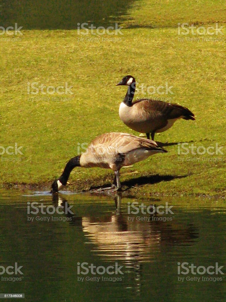 Canada Goose Wild Birds Standing Migrating Waterfowl Reflection Landscape stock photo