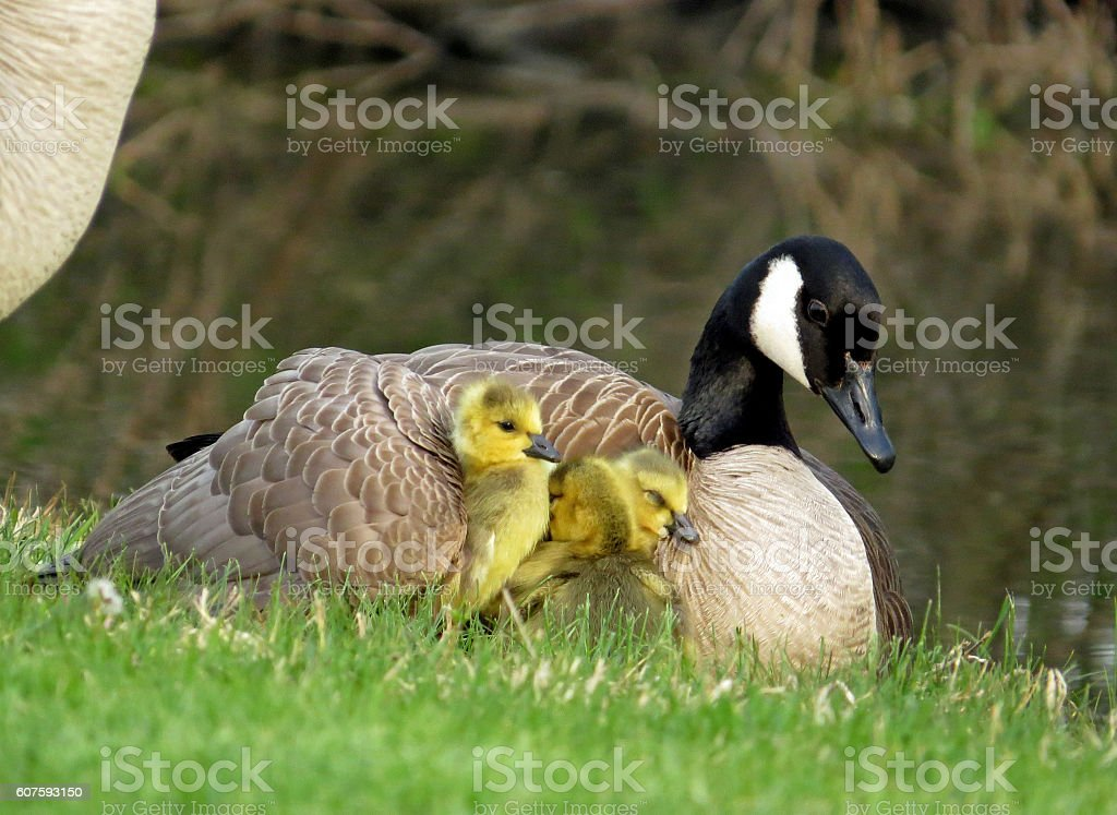 Canada Goose with Goslings Under Her Wing stock photo