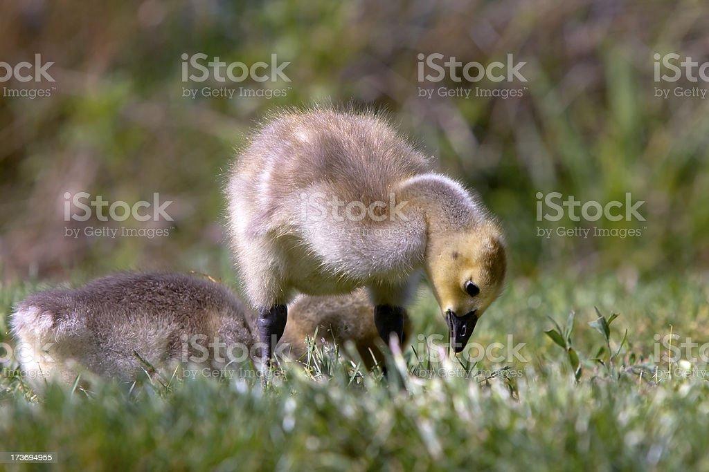 Canada Gosling Enjoying Snack stock photo