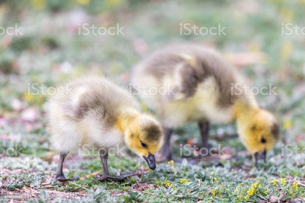 Canada Goslings (Branta Canadensis) Eating Grass. stock photo