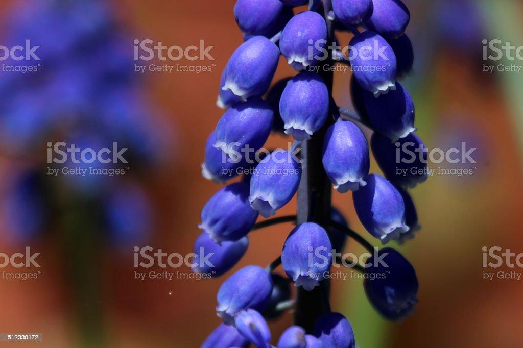 Canada: Grape Hyacinth (Muscari armeniacum) stock photo