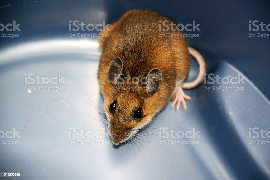 Canada: House Mouse (Mus musculus) stock photo
