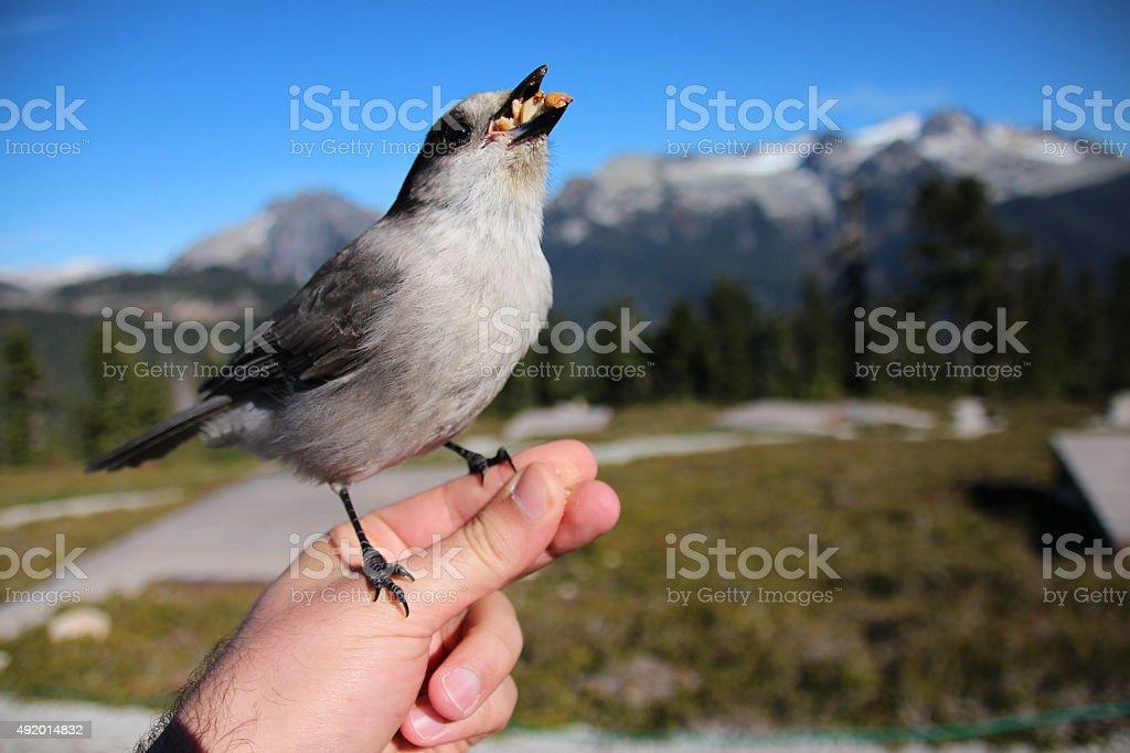 Canada Jay eating stock photo