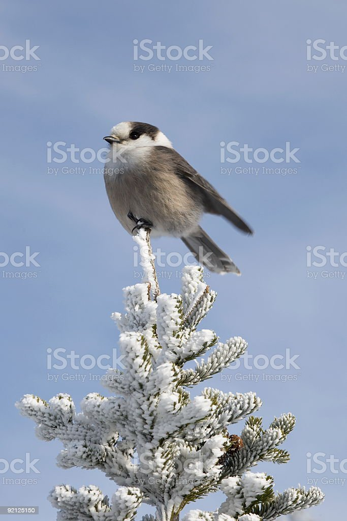 Canada Jay on Spruce Tree at top of Mount Pierce stock photo
