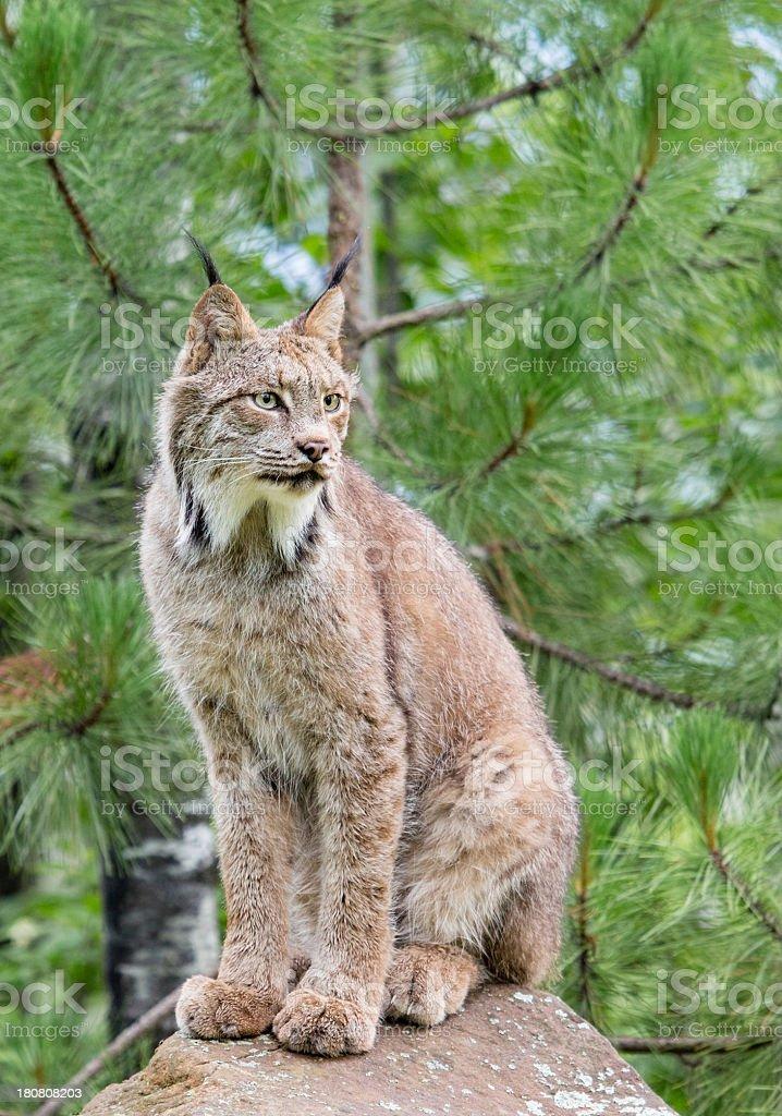 Canada Lynx royalty-free stock photo