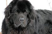 Canada: Newfoundland Dog in the Snow