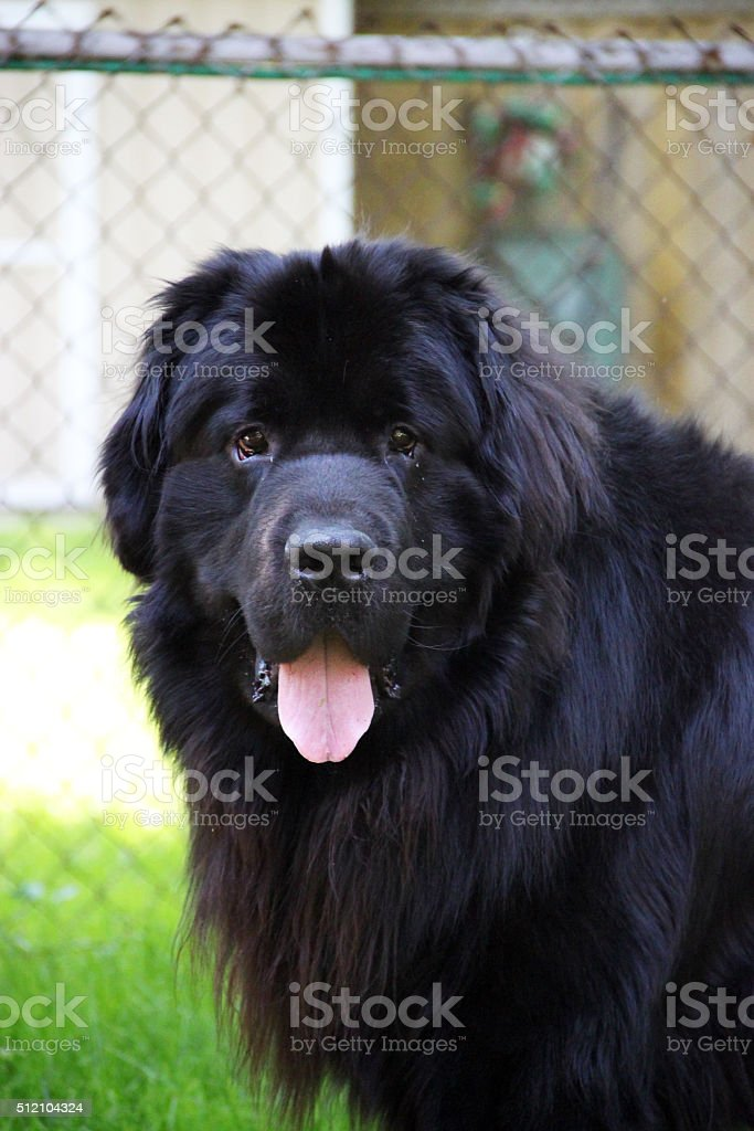 Canada: Newfoundland Dog stock photo