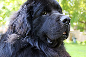 Canada: Newfoundland Dog