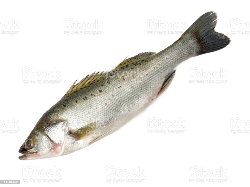 Canada Striped bass whole fresh fish, also called Atlantic striped bass, striper, linesider, rock or rockfish, product of Canada, isolated on white background. stock photo