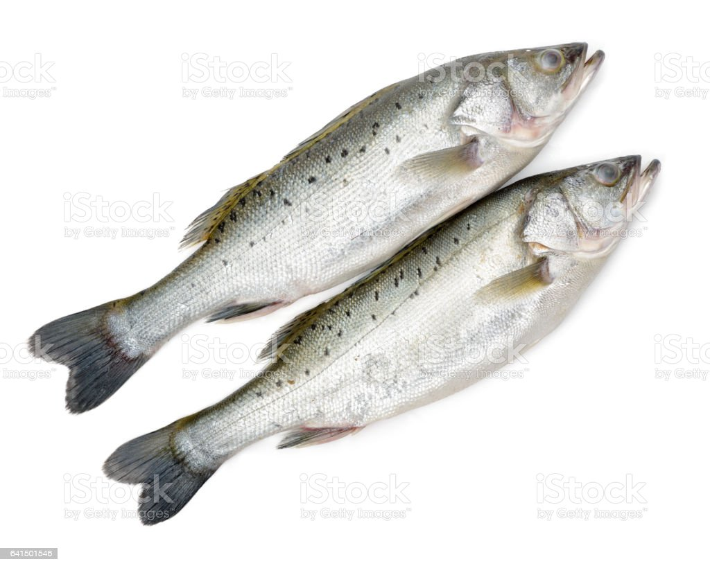 Freshwater fish online canada - Canada Striped Bass Whole Fresh Fish Also Called Atlantic Striped Bass Striper Linesider