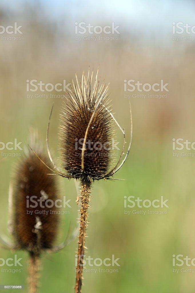 Canada: Teasel Comb stock photo