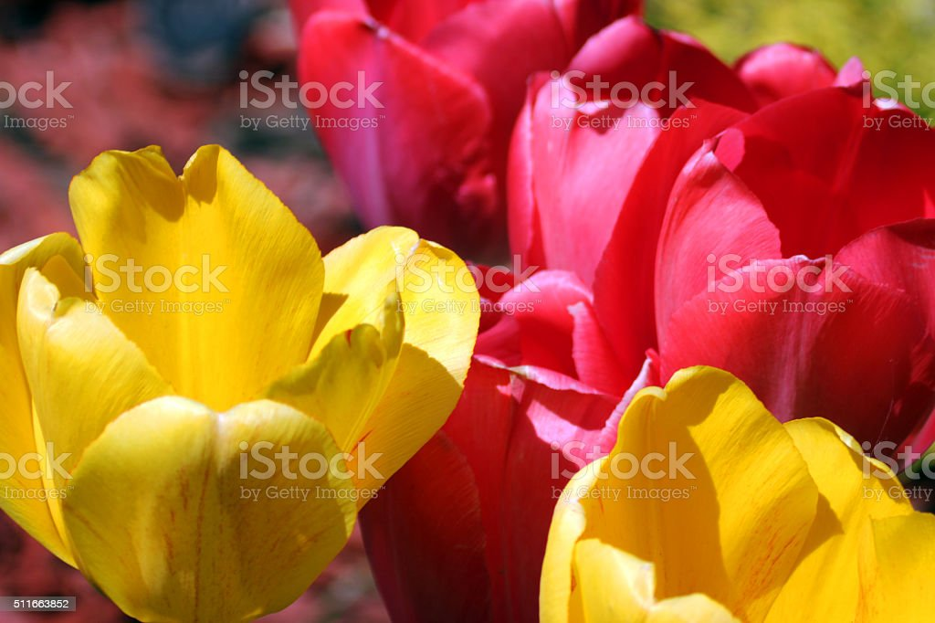 Canada: Tulips stock photo