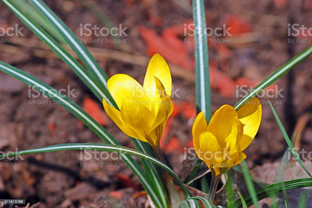 Canada: Yellow Crocus stock photo