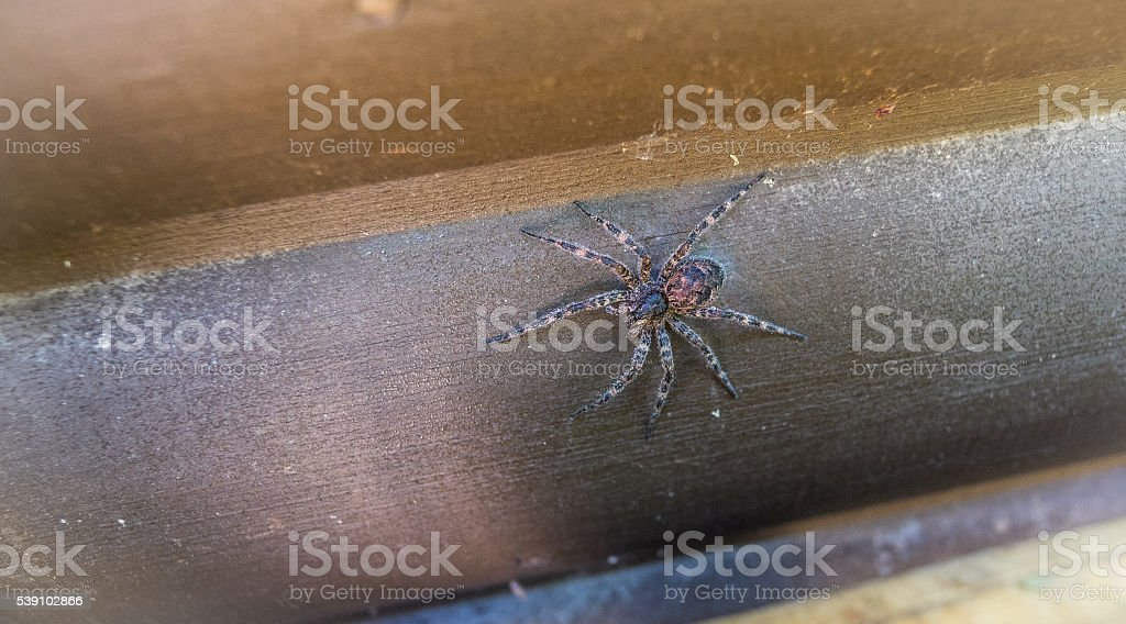 Canada's largest spider sitting on a cottage wall. stock photo