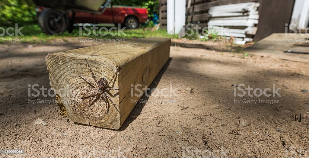 Canada's largest spider sitting on  a piece of 4x4 lumber. stock photo