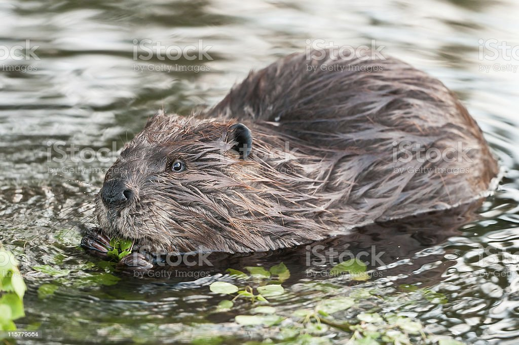 Canadian beaver eating some foliage in a water stream stock photo